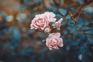 Bush Of Pink Roses Macro Vintage