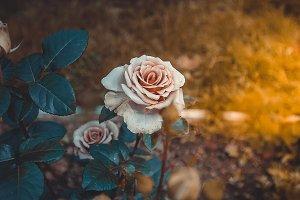 Pink rose Bush Buds Sun Vintage styl