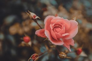 Pink rose bush retro style