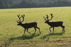 Reindeers on swedish fjeld
