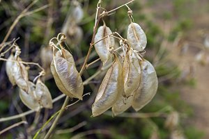 Ripe pods with acacia seeds close-up