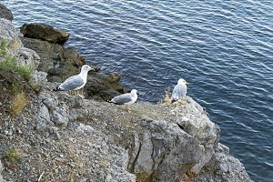 Seagulls on the coastal rocks.