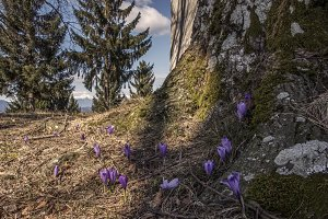 Spring Crocus Flowers in Grass