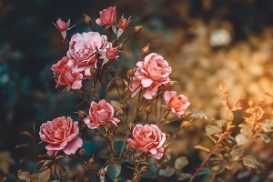 Pink Rose Bush Buds Sunlight Retro