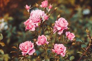 Pink Rose Bush Buds Retro