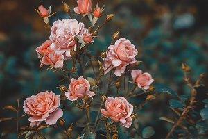Pink Rose Bush Buds