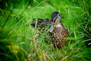 Beautiful Duck on the green grass