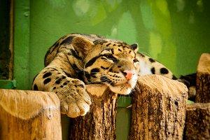 Lazy leopard resting