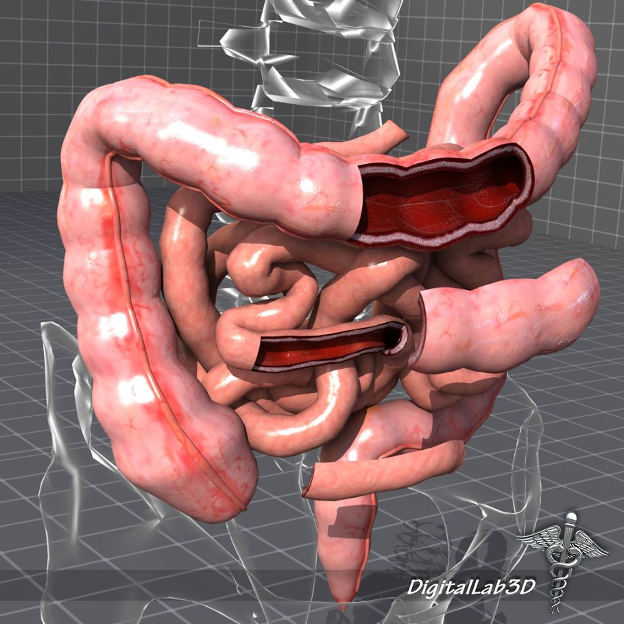 Large And Small Intestines Anatomy People Models Creative Market