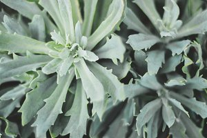 Grey Succulent Closeup