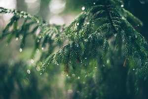 Fir branch with water drops