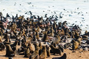 Cape fur seals entering leaving ocean