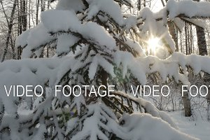Sun shine through snow covered branches of pine. Lens flare. Smooth movement. Winter background