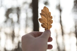 Brown oak leaf in a hand