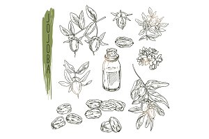 Set of jojoba elements. Vector realistic sketch of organic plant.