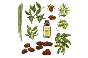 Sketch of colourful jojoba elements. Vector realistic icons.