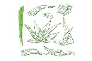 Sketch of aloe vera elements. Vector silhouettes of botanical plant.