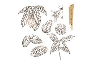 Sketch of cocoa pod with seeds, branches and flower. Vector chocolate ingredient done in vintage style.
