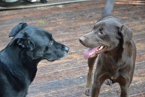 Two Dogs Talking