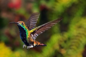 A Hummingbird about to Land