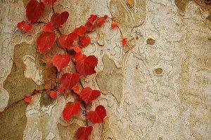 Red Leaves on Gray Bark
