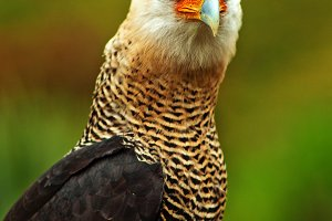 Caracara Bird of Prey