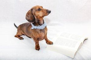 Dachshund dog isolated whit  book