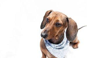 Dachshund dog isolated
