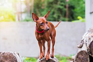 Portrait of red miniature pinscher