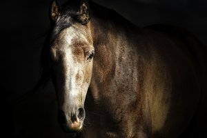 Portrait of horse face at dark