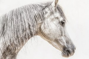 Portrait of gray arabian horse head