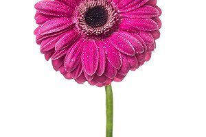 Close up of pink gerbera on white