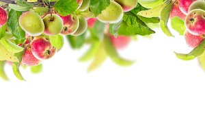Apple branch with apples on white