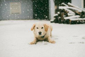 Retriever's first snow experience