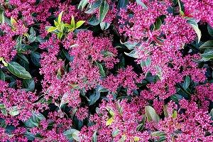 Viburnum tinus plant and blossom