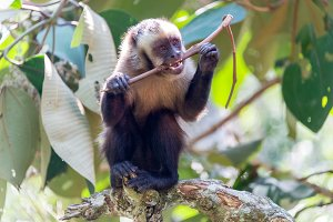 Capuchin Monkey Chewing on a Stick