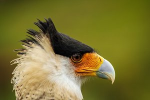 Caracara Bird Face