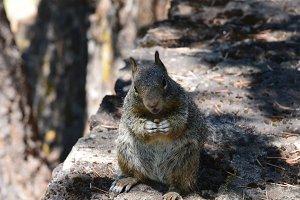 Ground Squirrel With Nut.