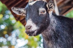 Baby Black Goat at a Farm