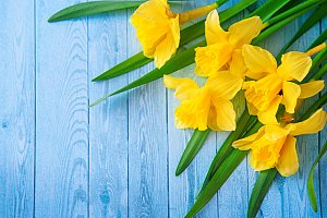 Border from yellow narcissus or daffodil flowers on aquamarine wooden background. Selective focus. Place for text. Toned image.