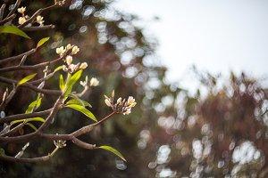 Plumaria, Frungipani, Lei flowers