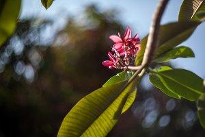 Plumaria, Frungipani, Lei flower
