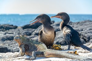 Flightless Cormorants and Marine Igu