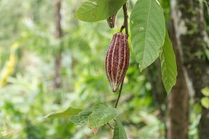 Cocoa tree with fruit, Bali Indonesia.