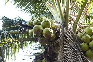 Coconut Perfume in Thailand