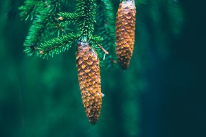 Branch of fir tree with cones