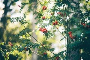 Rowan tree with red berries