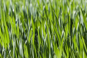 Leaves of wheat. close-up