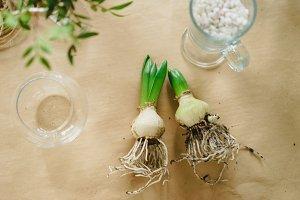 hyacinths spring transplant