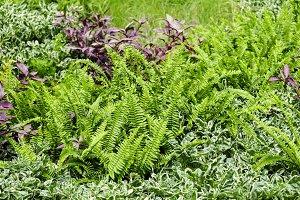 Home and garden fern in the garden